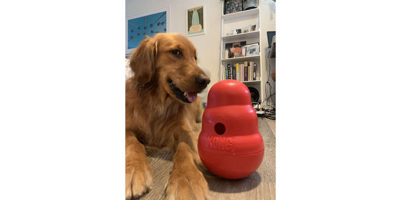 dog with Kong wobbler toy