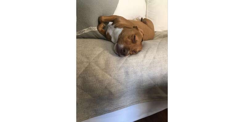 dog napping on couch on Orvis quilted throw