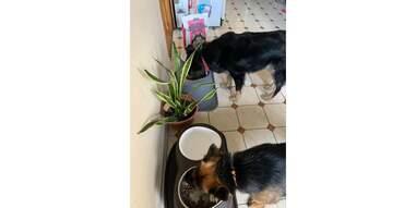 dogs eating Jinx dog food