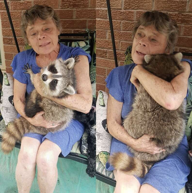Rescued raccoon comes back to visit mom