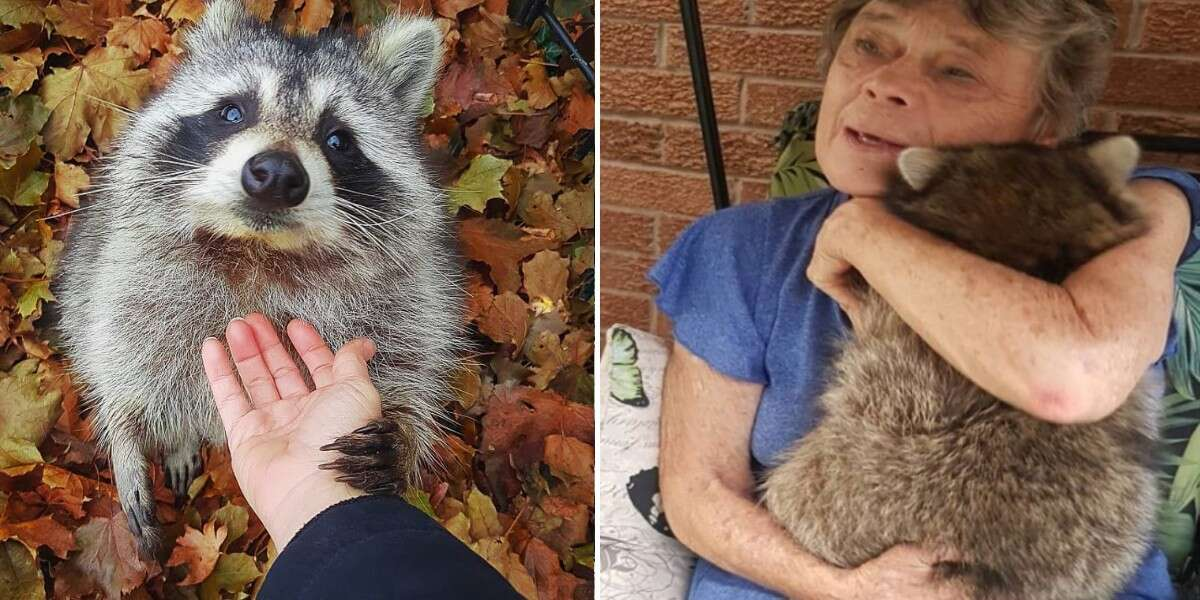 Raccoon Still Comes Back To Visit The Woman Who Saved Him 3 Years Later