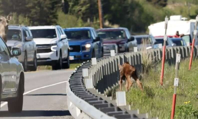 Moose calf rescued from side of highway