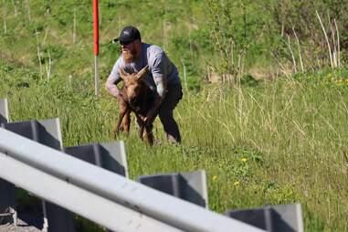 Man picks up moose calf to reunite him with mother