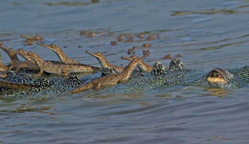 Critically endangered gharial