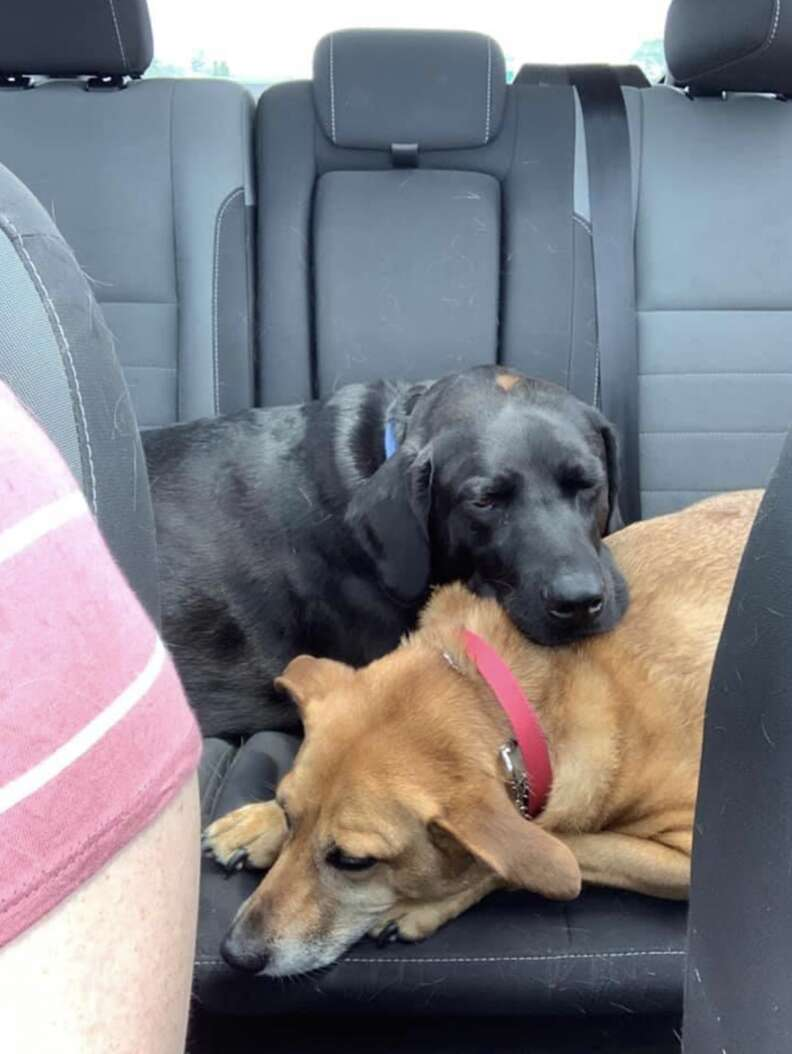 Dog comforts sister in car