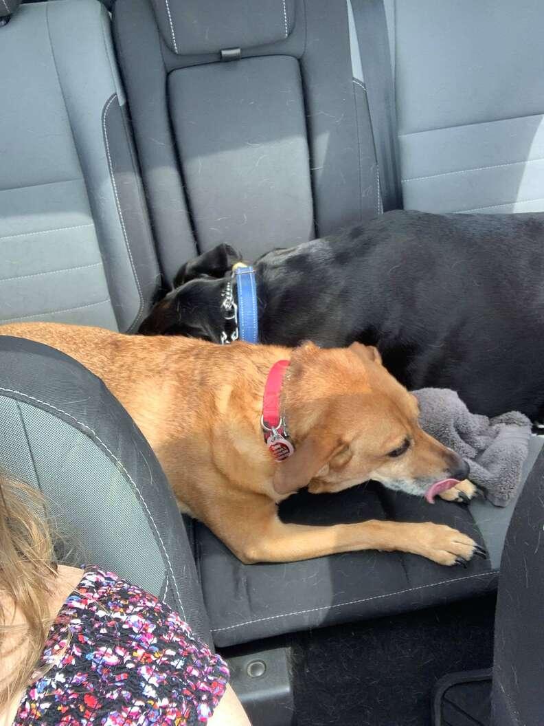 Lab comforts anxious dog on car rides