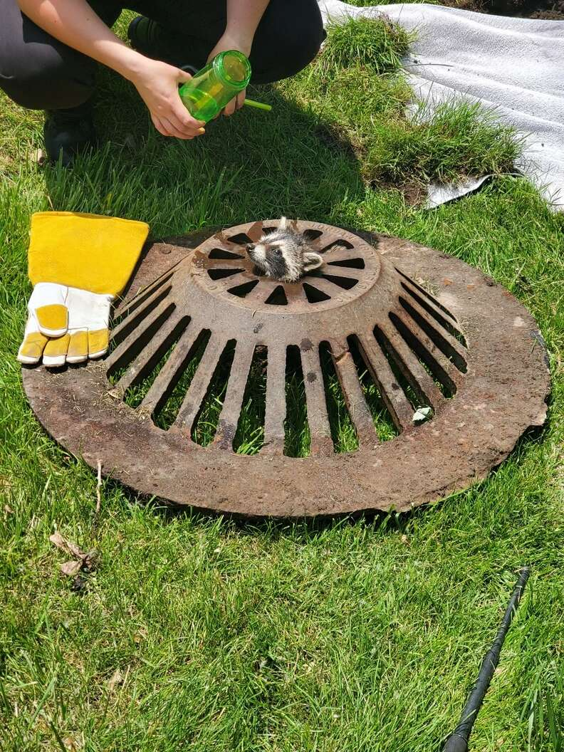 Baby raccoon trapped in sewer cover