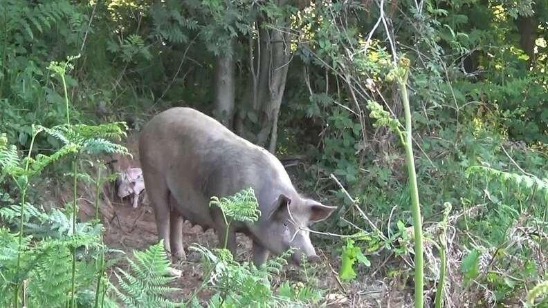 Pig escapes factory farm