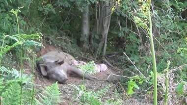 Pregnant pig escapes from farm and has babies in the woods