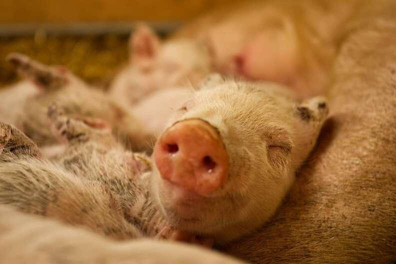 Rescued piglet smiles at sanctuary