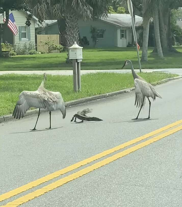 Cranes act as crossing guards for alligator