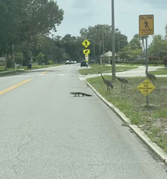 Cranes chase alligator across the street in Florida