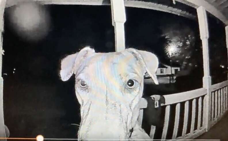 Lost dog rings doorbell after being spooked by fireworks