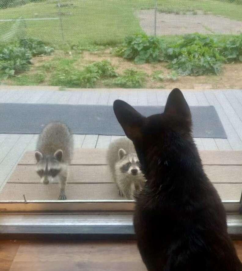 Corgi is best friends with wild raccoon kits