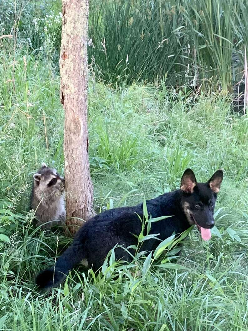 Dog plays hide-and-seek with raccoons
