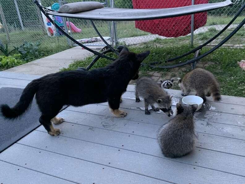 Corgi eats with wild raccoons