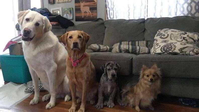 Great Dane outgrows his dog siblings