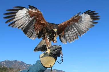 a falcon getting ready to fly from someone's arm