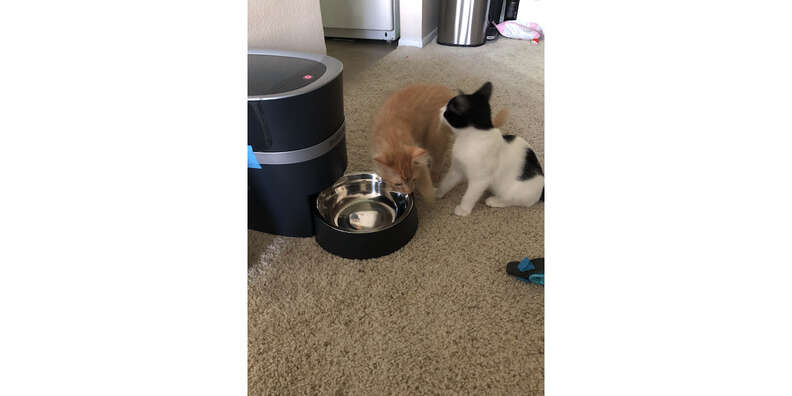 cats and automatic feeder