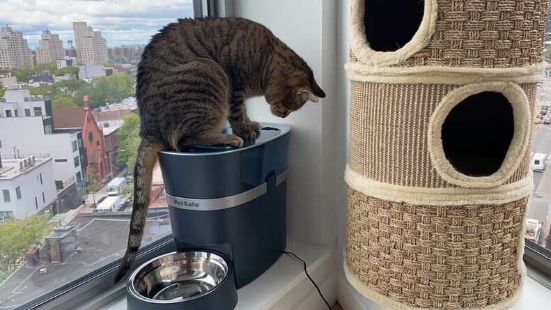 cat on automatic feeder