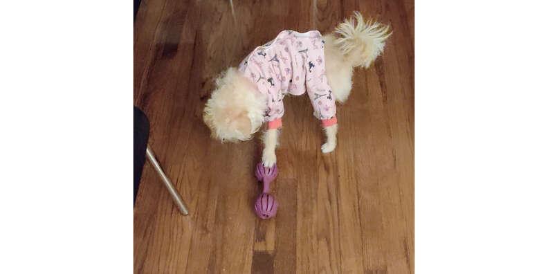 dog with busy buddy waggle