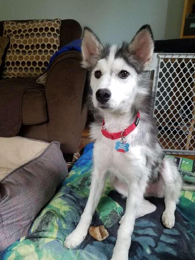 Husky grows back fur after mange
