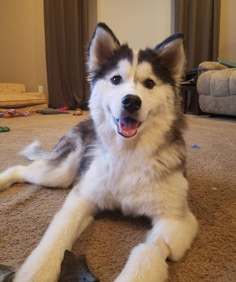 Husky is so fluffy now