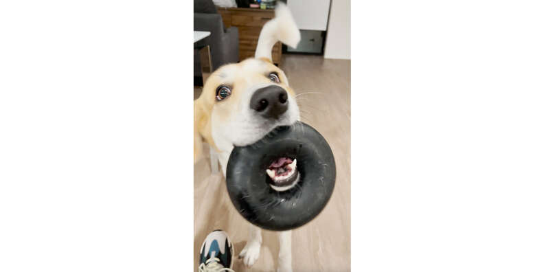 dog with goughnuts ring