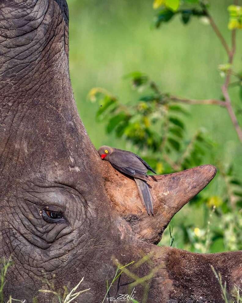 Bird snuggles rhino's horn