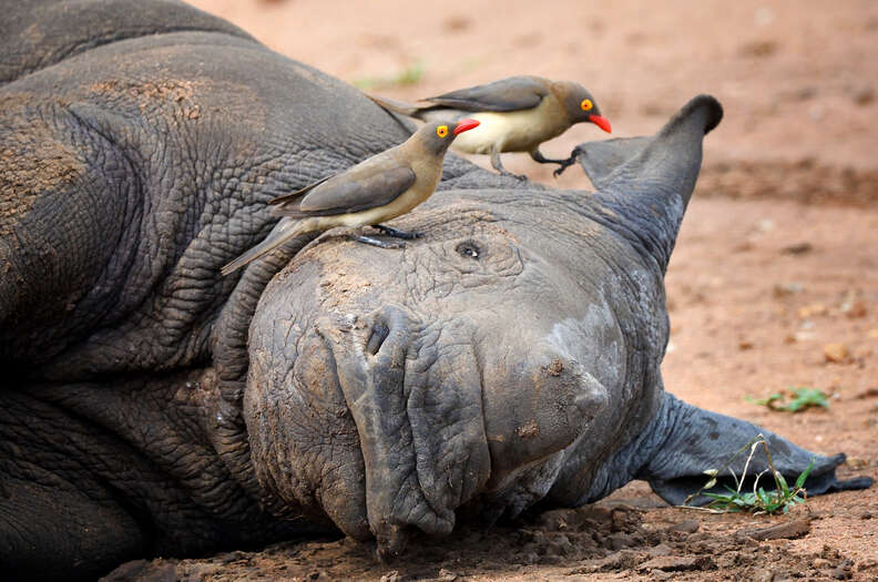 Symbiotic relationship between rhino and oxpecker