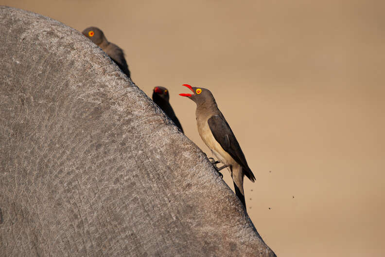 Oxpecker shouting a warning call