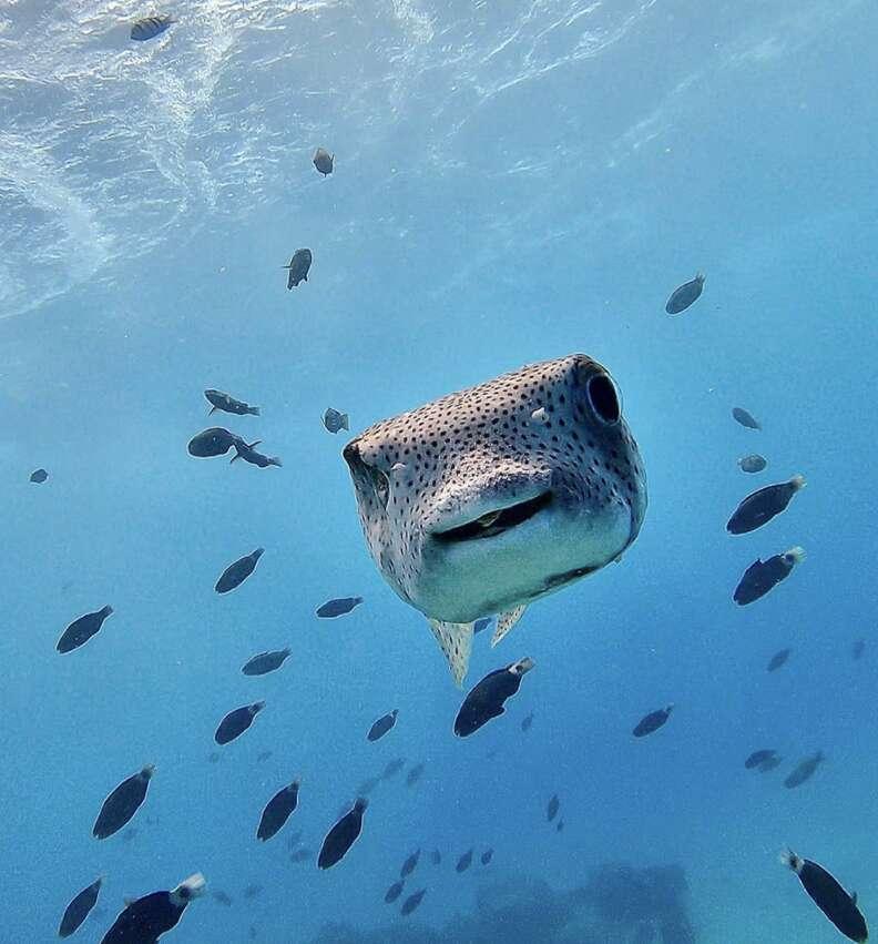 Smiling porcupine fish