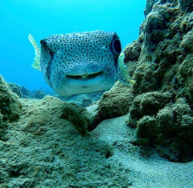 Porcupine fish smiles at diver