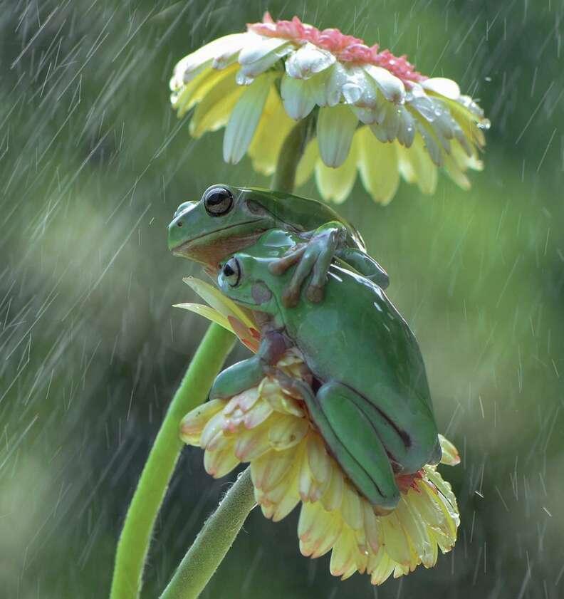 Frogs hug in the rain
