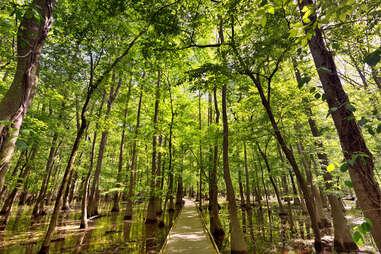 a boardwalk path leading through a marshland forest