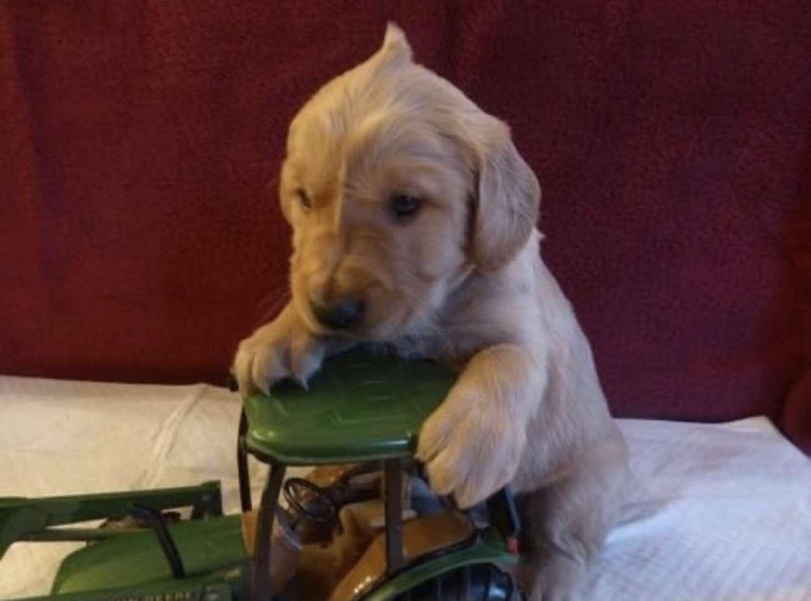 Puppy's Adorable Cowlick