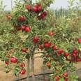 Sm'Apples U-pick Orchard