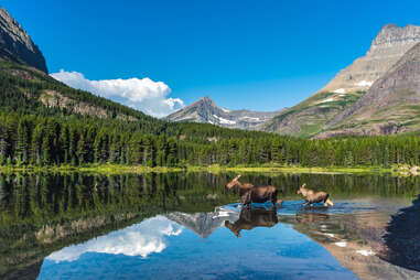 two moose running across a glacial lake surrounded by trees