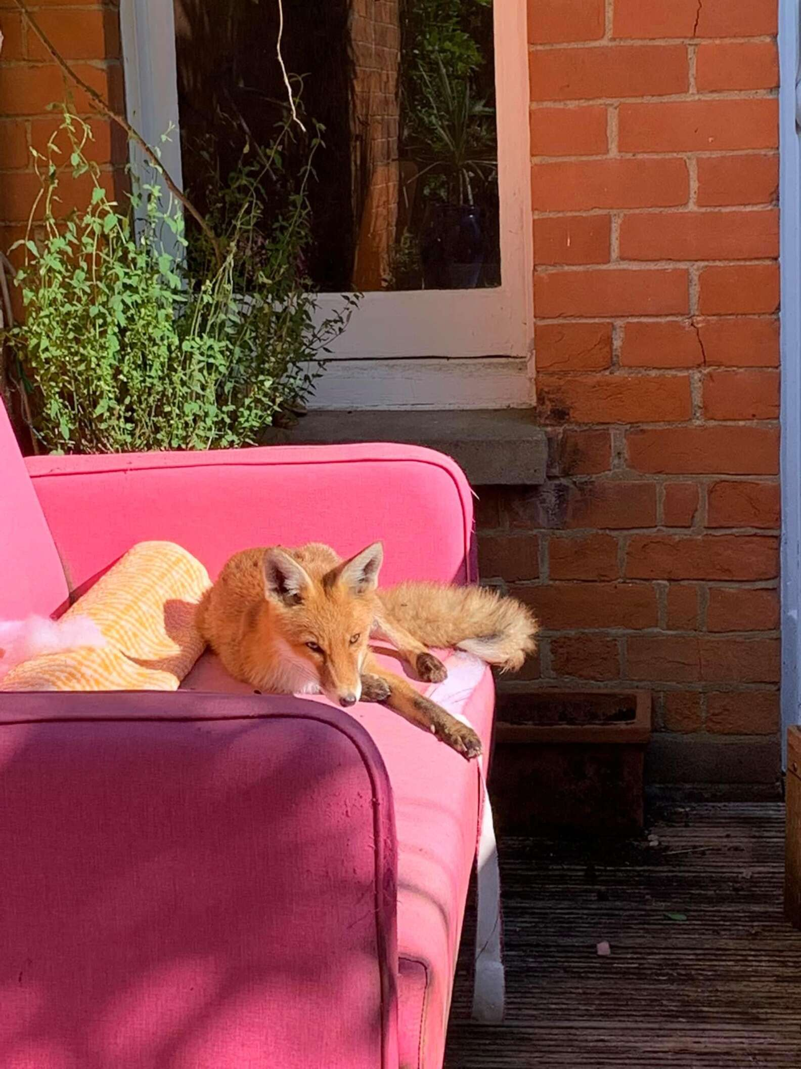 Fox Finds Safe Haven in Woman's Yard