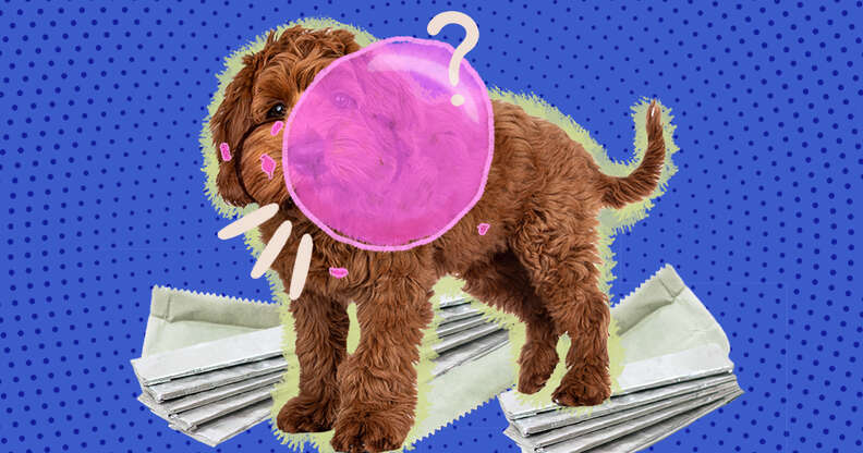 dog with a bubble of gum and gum wrappers