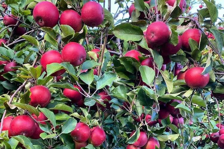 Barton Orchards