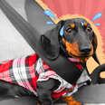 Dog car anxiety