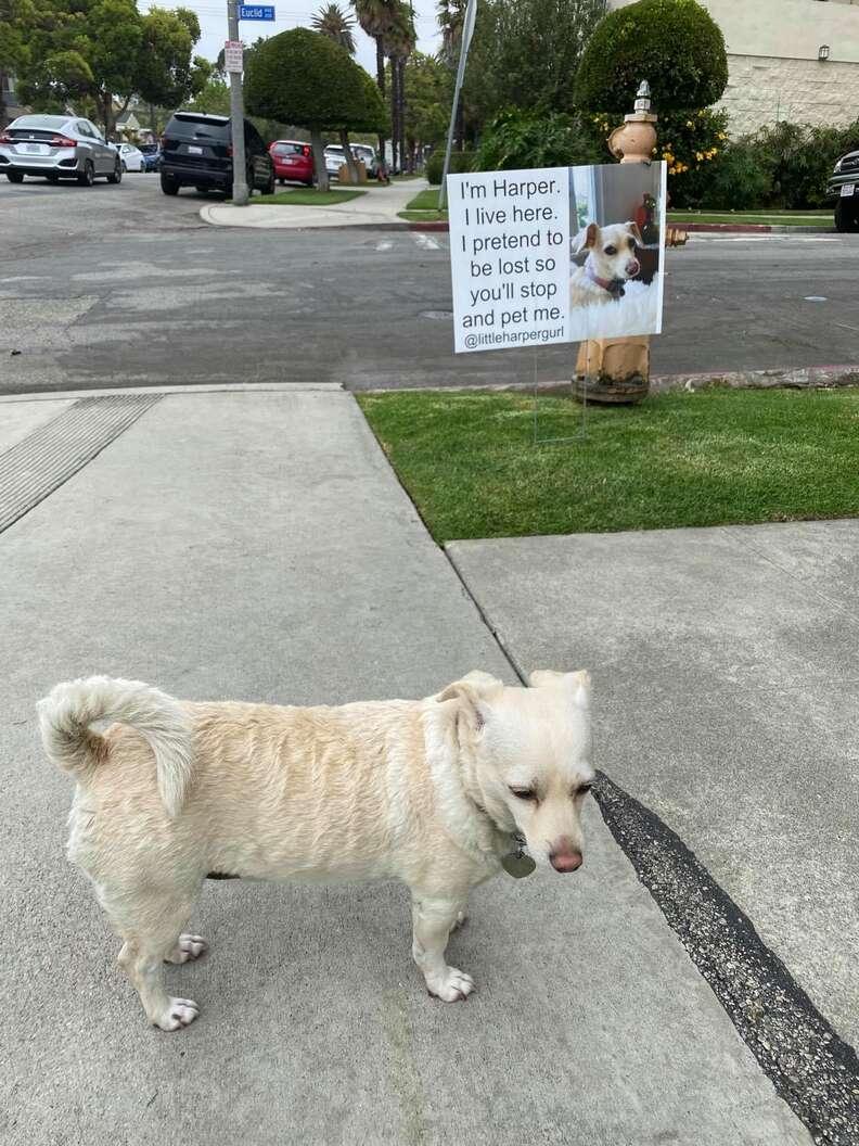Perro finge estar perdido para conseguir mascotas
