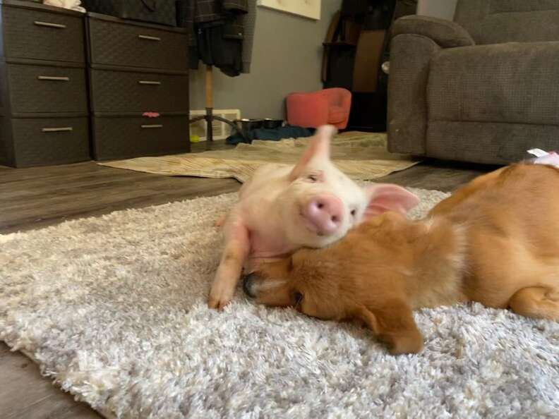 piglet and puppy