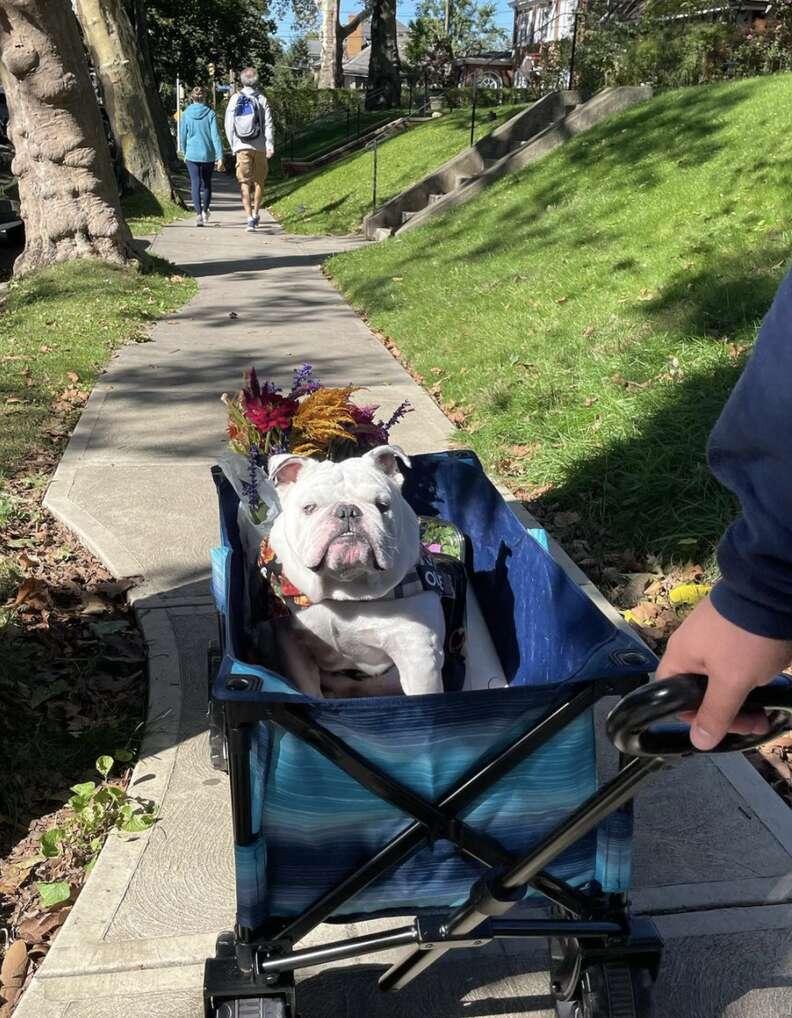 bulldog wagon