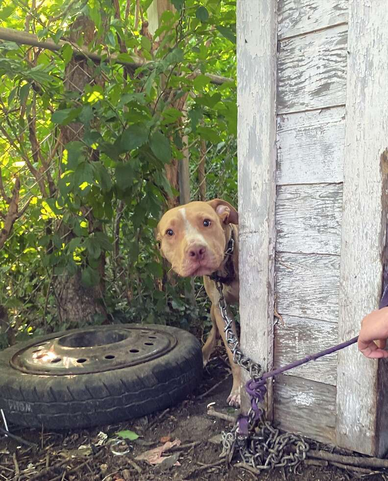 dog chained and abandoned