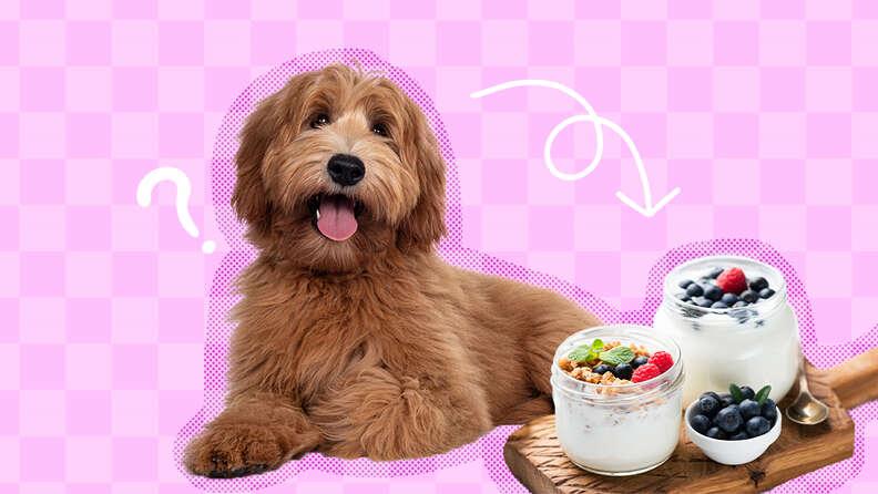 dog with yogurt