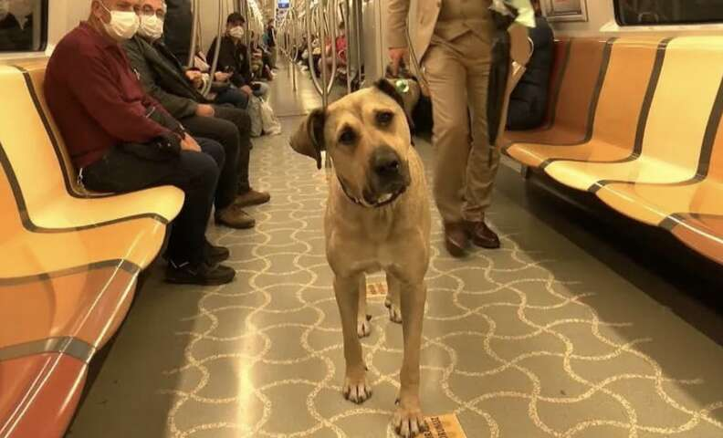 Stray dog rides the subway in Istanbul