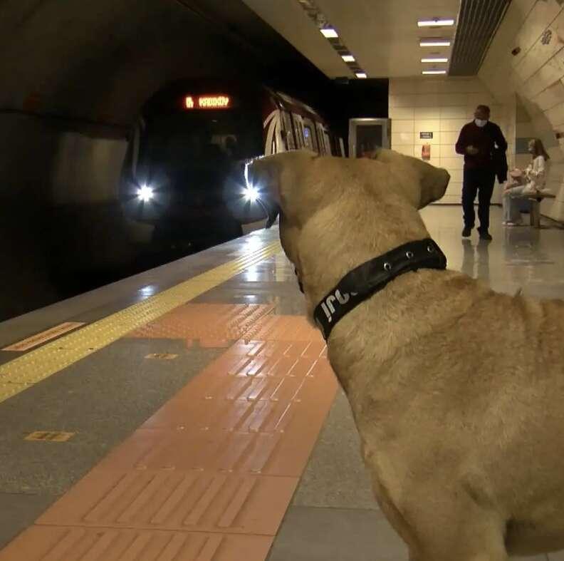 Stray dog rides to trains