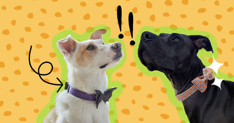 dogs with halloween collars
